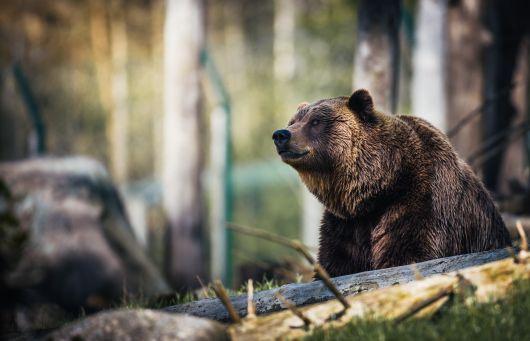 Tánczos Barna: medvetámadás esetén lehetővé kell tennünk az azonnali közbelépést – július folyamán fogadja el a kormány az erre vonatkozó jogszabályt