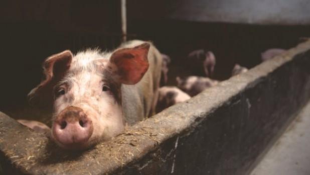 Újból megszavazta a parlament a sertést tartó gazdák támogatására vonatkozó országos programot